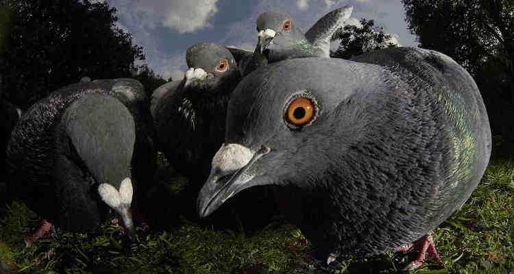 M re c libataire 10 raisons de fuir le roi de la jungle revival - Faire fuir les pigeons ...